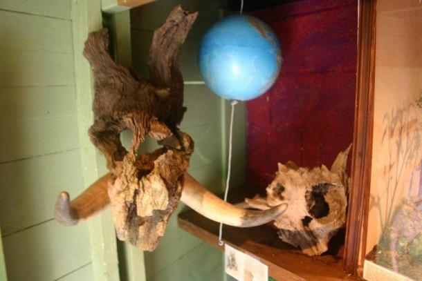 crâne du rhinoféroce.